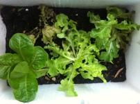 Lettuce in foam box