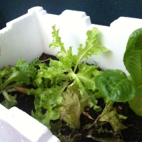 Lettuce spreading out and getting settled